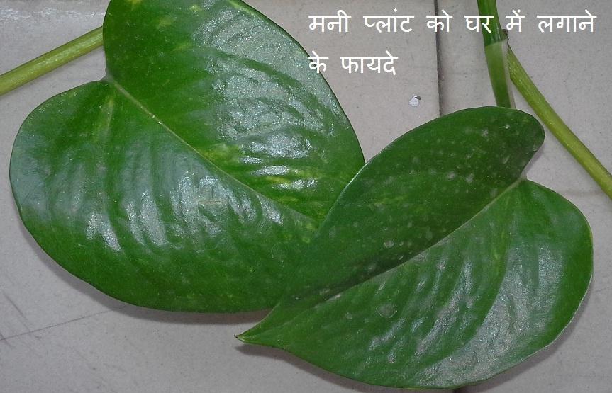 money plant.jpg